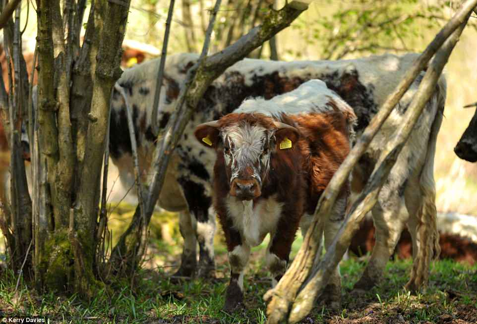 Cattle originate from forest dwelling ancestors and they love forests including savannah!